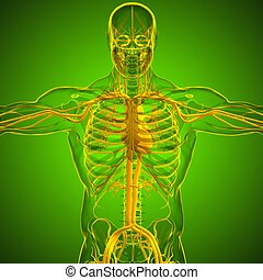 system, zirkulierend, koerperbau, übertragung, 3d, menschliche , medizinisches konzept, herz