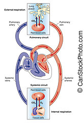 Systemic and pulmonary circulations - Pulmonary and systemic...