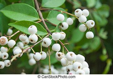Syzygium gratum (Wight) S.N. Mitra var. gratum