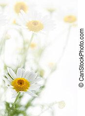 százszorszép, virág, alatt, fehér, lágy, háttér