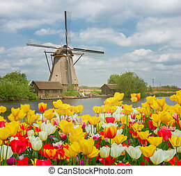 szélmalom, tulipánok, felett, holland, mező