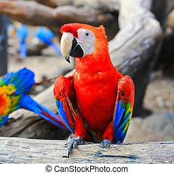 színes, ara papagáj