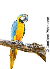 színes, ara papagáj, képben látható, a, fa, alatt, white...