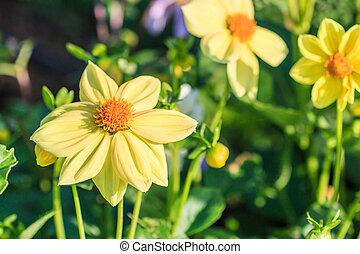 színes, dália, virág
