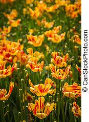 színes, tulipánok, dísztér