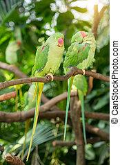színpompás, Sügér, madár, Papagáj, ülés