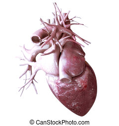 szív, háttér, anatómia, emberi, fehér