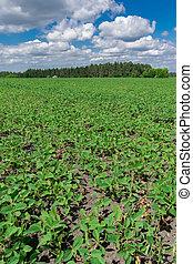 szójabab, mező, alatt, nyár