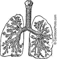 szüret, trachea, légcső, vagy, engraving.