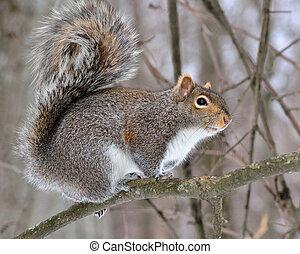 szürke mókus