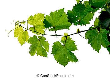 szőlő szőlőtőke
