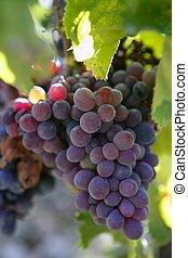 szőlő, termelés, fekete, spanyolország, vörös bor