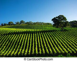 szőlőskert, élénk