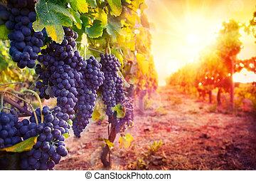 szőlőskert, érett, szőlő