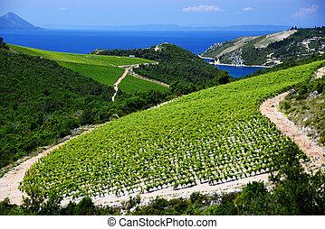 szőlőskert, adriai, horvátország, dalmácia, lesiklik