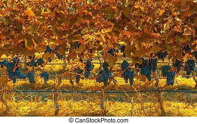szőlőskert, alatt, ősz, befest