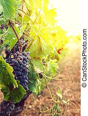 szőlőskert, alatt, ősz, betakarít