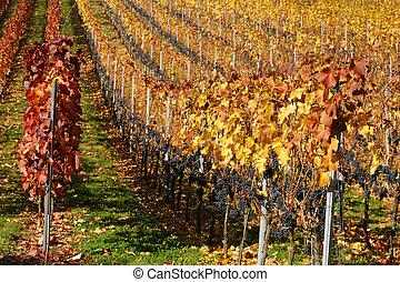 szőlőskert, alatt, késő, ősz