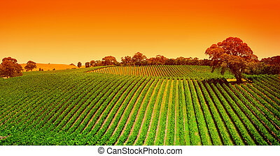 szőlőskert, dombok, napkelte