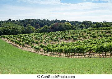 szőlőskert, képben látható, egy, hegy