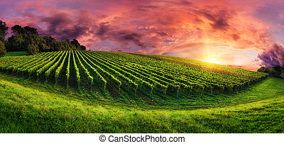 szőlőskert, panoráma, -ban, pazar, napnyugta