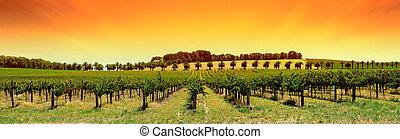 szőlőskert, panoráma, napnyugta