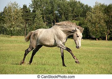szary, koń, młody, wolny, andalusian, hiszpański,...
