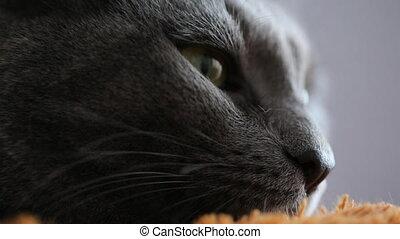 szary, zamknięcie, kot, do góry