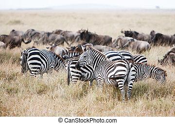 szavanna, csorda, legelés, zebra, afrikai, wildebeest, füves táj