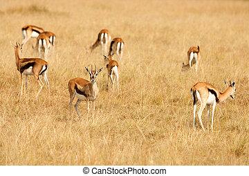 szavanna, fű, thomsons, legelés, afrikai, gazelles