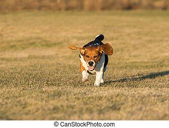 szczęśliwy, pies gończy, wyścigi, w, przedimek określony przed rzeczownikami, grass.