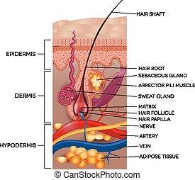 szczegółowy, anatomy., illustration., medyczny, włosy, naklejona etykietka, skóra