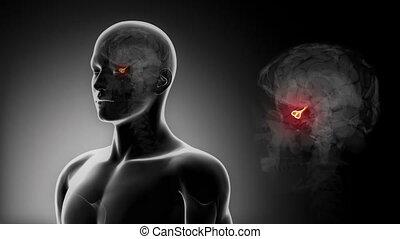 szczegółowy, view-, samiec, mózg, przysadkowy