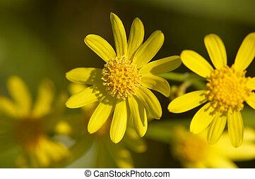 szczelnie-do góry, kwiat, żółty