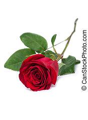 szczelnie-do góry, kwiat, róża, odizolowany, strzyżenie, included, ścieżka, biały czerwony