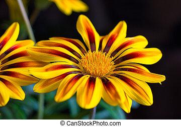 szczelnie-do góry, kwiat, wibrujący, wizerunek, żółty, czarne tło