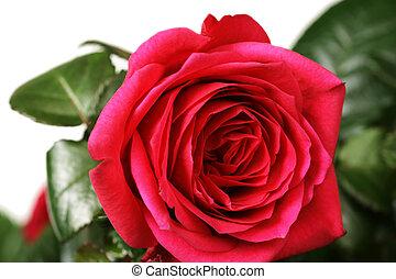 szczelnie-do góry, róża, płytki, czerwony, dof.