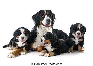 szczeniaki, moutain, bernese, pies, dorosły