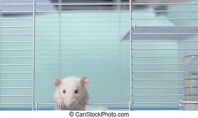 szczur, chińczyk, cage., zwierzę, dom, symbol, pet., rok,...