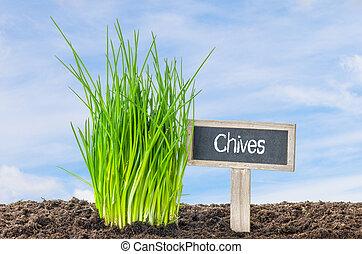 szczypiorek, w ogrodzie, z, niejaki, drewniany, etykieta