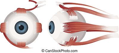 szem, emberi, körvonal