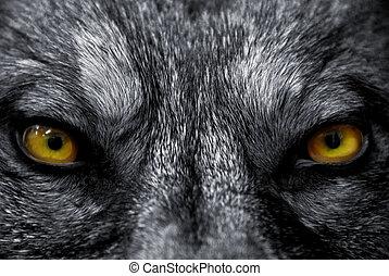 szemek, közül, farkas
