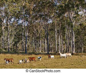 szene, zahnfleisch, bäume, kühe, ländlich, australische