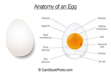Ascaris tojás felnőtteknél - Ascaris tojás: szerkezet - Ascaris tojás szerkezete