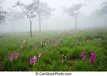 sziám, tulipán terep, alatt, ködös, reggel