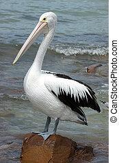 sziget, ausztrál, kenguru, pelikán