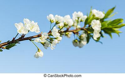 szilva virágzik, noha, világos, kék, sky.