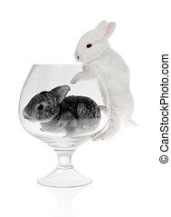 szkło, królik