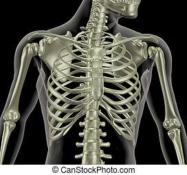 szkielet, klatka, pokaz, do góry szczelnie, żebro