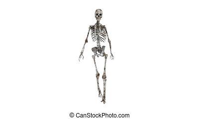 szkielet